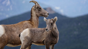 ROCKY MOUNTAIN BIGHORN SHEEP - Free image #463423
