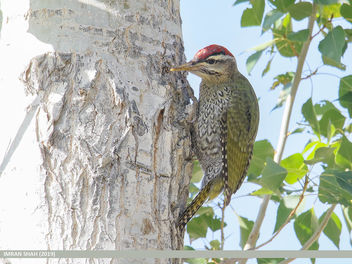 Scaly-bellied Woodpecker (Picus squamatus) - image gratuit #463603