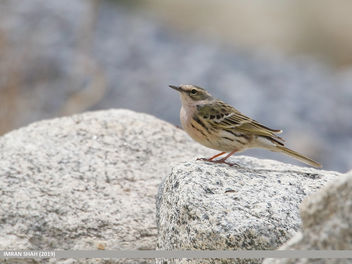 Rosy Pipit (Anthus roseatus) - Free image #463863
