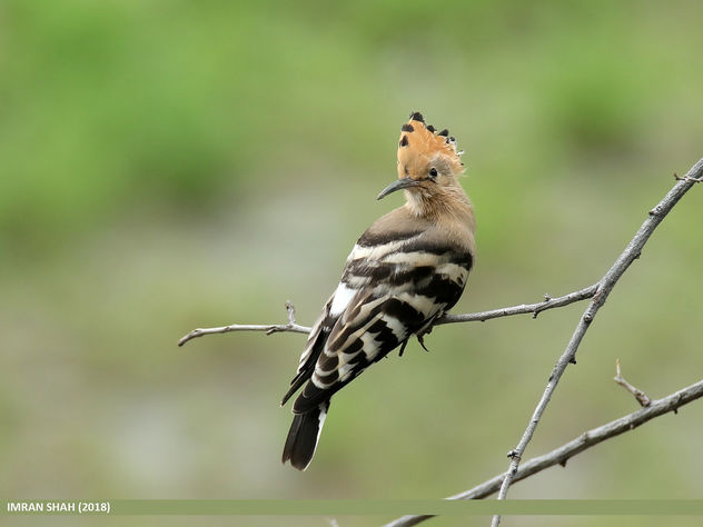 Common Hoopoe (Upupa epops) - Free image #463873