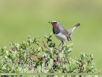 White-tailed Rubythroat (Luscinia pectoralis) - image #463893 gratis