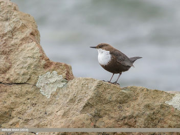 White-throated Dipper (Cinclus cinclus) - Free image #463923