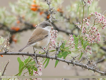 Lesser Whitethroat (Sylvia curruca) - Free image #464373