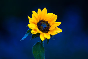 Little Sunflower - Free image #465303