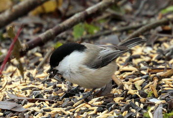 Willow tit among grains, - Free image #465463