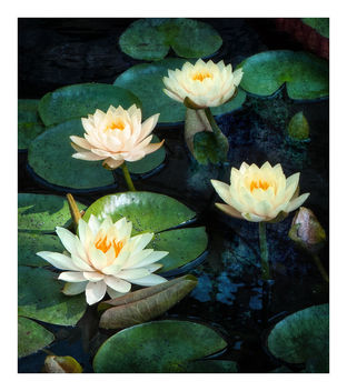 Lily Pond - Free image #465723