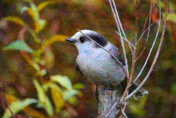 Canada Jay, Grey Jay, Whiskey Jack - бесплатный image #465843