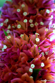Cluster of flowers in pink and orange tone IMG_0931-007 - Free image #465883