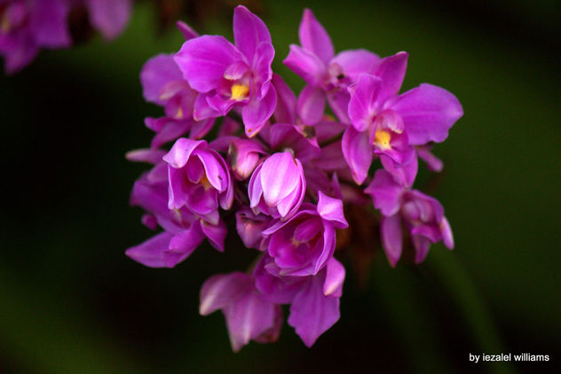 Tropical plant - a Wild Orchid by iezalel williams - IMG_2888 - Canon EOS 700D - Free image #466303