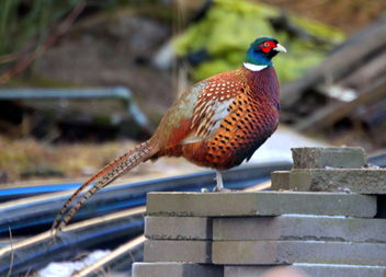 The beautiful pheasant - Free image #466703