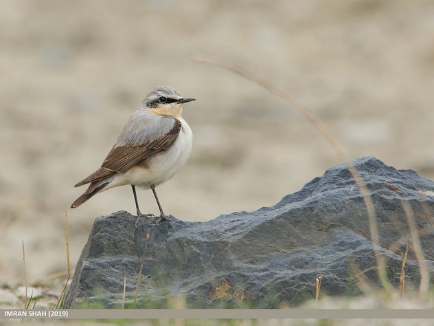 Northern Wheatear (Oenanthe oenanthe) - Free image #466783