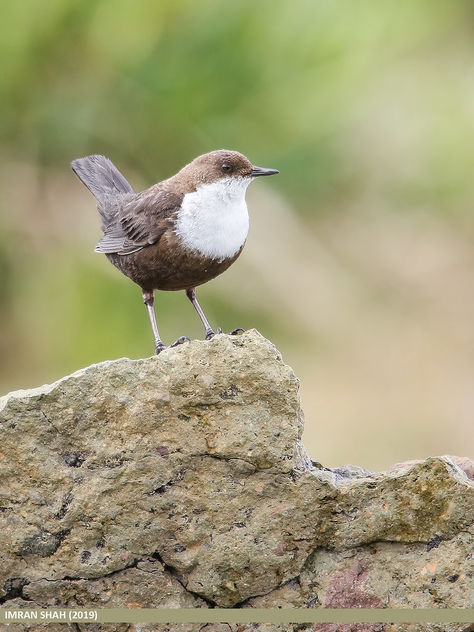 White-throated Dipper (Cinclus cinclus) - Free image #466883