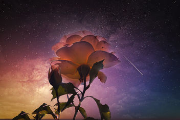 A rose in the night - image #466973 gratis