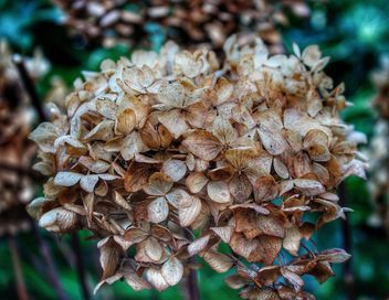 Hydrangea in Winter - image gratuit #467383