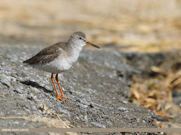 Common Redshank (Tringa totanus) - Free image #467803