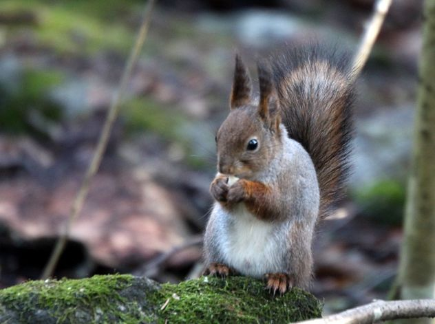 Squirrel in deep forest - image #467873 gratis