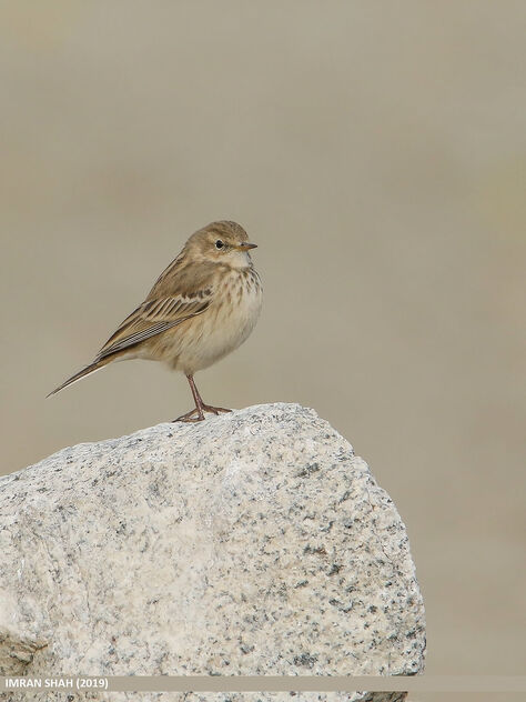 Water Pipit (Anthus spinoletta) - Free image #468923