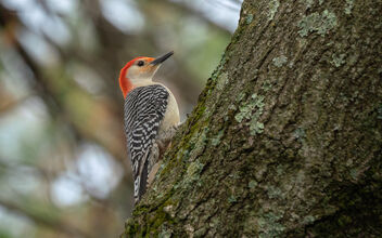 Male Red-Bellied Woodpecker - Free image #469193