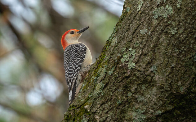 Male Red-Bellied Woodpecker - Kostenloses image #469193