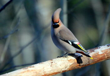 Waxwing - Kostenloses image #469403