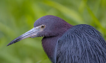 Little Blue Heron - Free image #469653