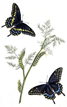 Black Swallowtail butterflies (1797). Male top left, female bottom right. - Kostenloses image #469883