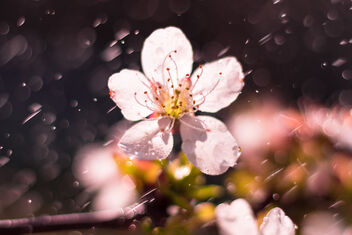 Cherry blossom in the spring rain - image gratuit #470263