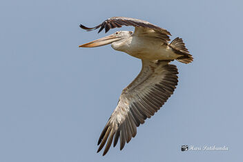 A Pelican disturbed by a Kite trying to scare the predator away - image #470613 gratis