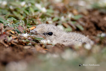 (4/5) A Small Pratincole chick hiding with its eyes closed. - бесплатный image #470693
