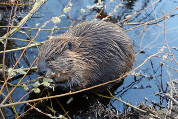Beaver puppy in the evening - image #470873 gratis