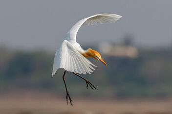 A Cattle Egret Landing in the water - Free image #470953