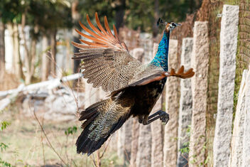 A Juvenile Peacock flying over a fence - image gratuit #471143