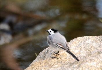 Wagtail on the stone - image gratuit #471273