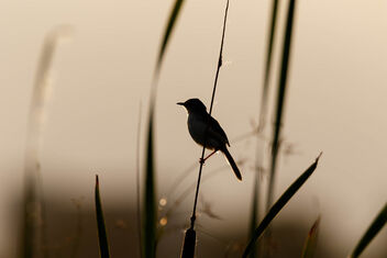 An Ashy Prinia resting on a Stalk against the sunset - image #471633 gratis