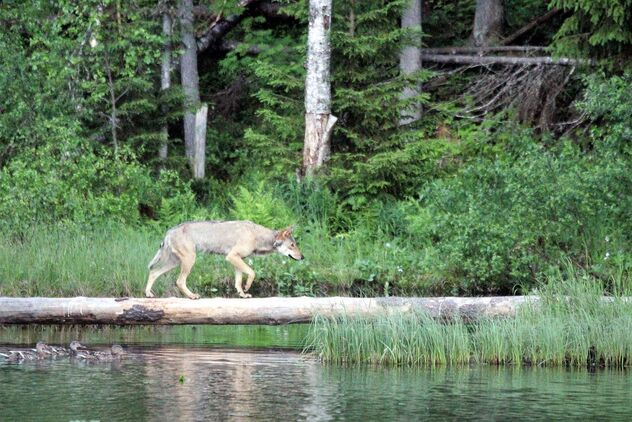 Tha wolf on the deadwood. - Free image #472093