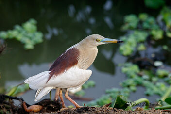 A Pond Heron - to fly or not to! - Kostenloses image #472143