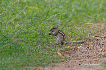 Gobble Gobble - A Squirrel in haste grabbing what it can - image #472353 gratis