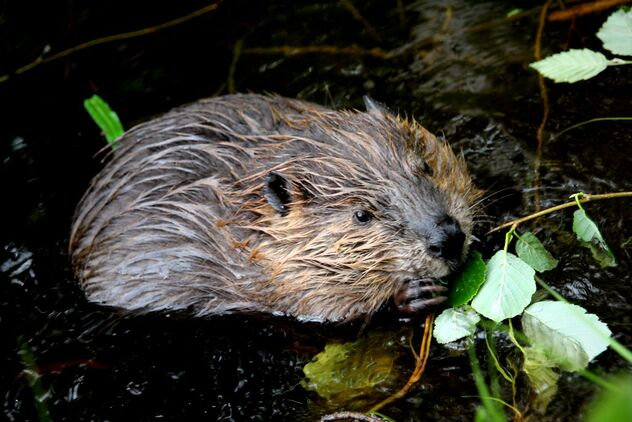 Young beaver in wilderness - Free image #472483