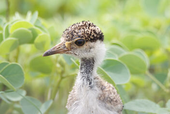 A few days old Red Wattled Lapwing Chick - Confused - image #472543 gratis