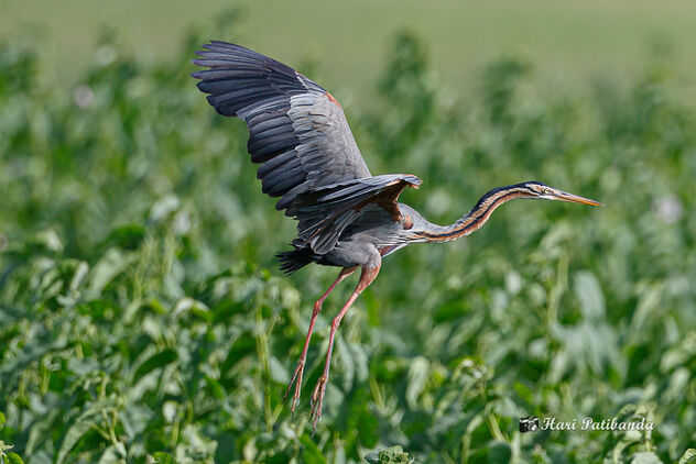 A Purple Heron Landing near its nest - image #473463 gratis