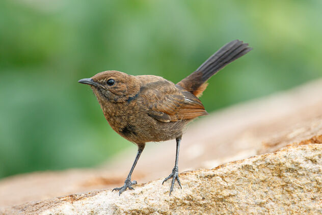 An Indian Robin Female on a Rock - Kostenloses image #473553