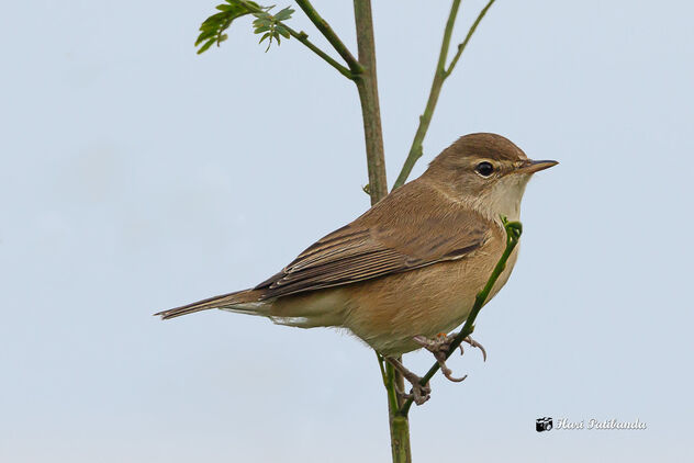 A Booted Warbler on a light perch - image #475713 gratis