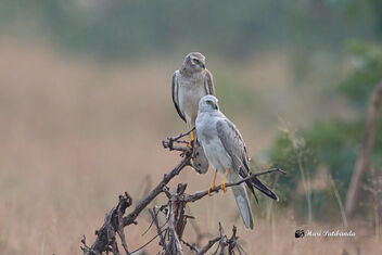 Two Pallid Harriers Roosting together - A Male (Front) and a Subadult (female) - image gratuit #475763