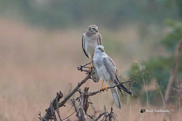 Two Pallid Harriers Roosting together - A Male (Front) and a Subadult (female) - image #475763 gratis