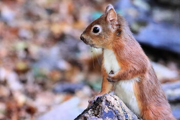 Red Squirrel - Kostenloses image #475773