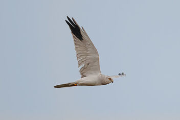 A male Pallid Harrier flying away from us early morning - image gratuit #475813