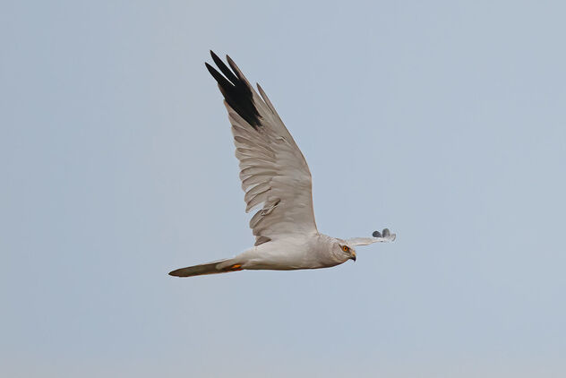 A male Pallid Harrier flying away from us early morning - image #475813 gratis