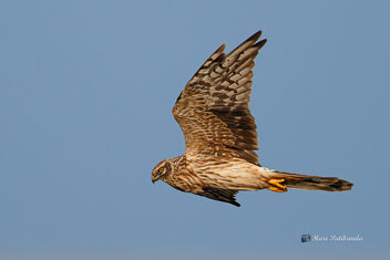 A Pallid Harrier surveying the roosting area - image #476093 gratis