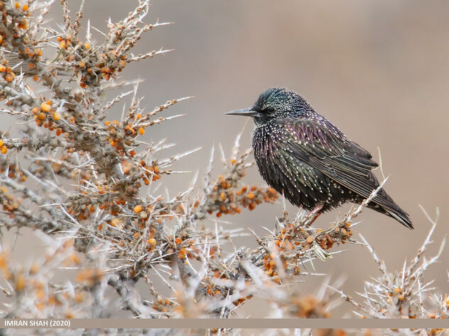 Common Starling (Sturnus vulgaris) - Free image #476693