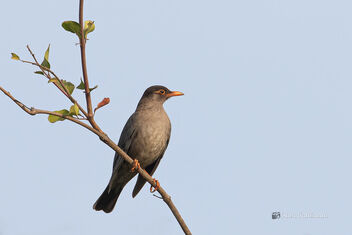 An Indian Blackbird enjoying the morning sun - Free image #477603